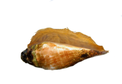coquillage3.png