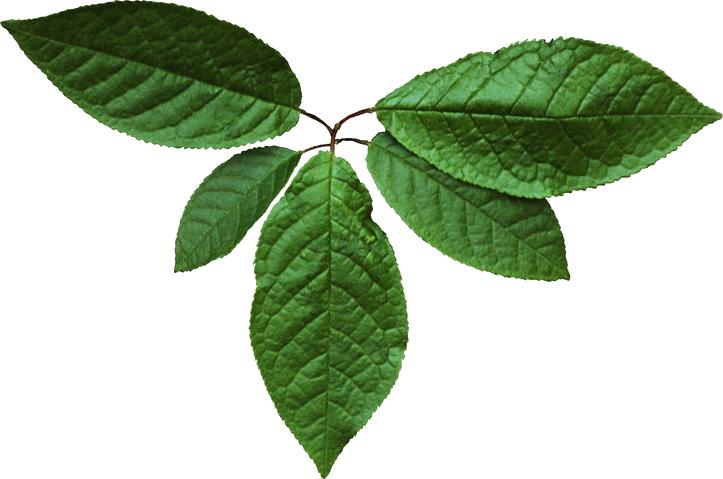 feuilles5.png