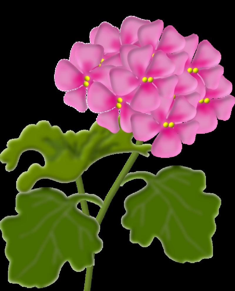 geranium1.png