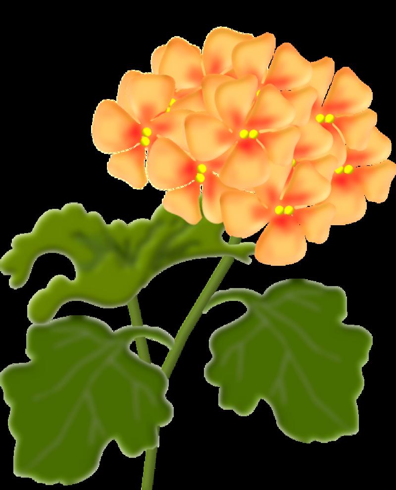 geranium3.png