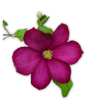 pivoine8m4.png