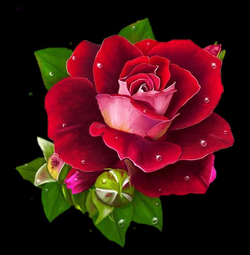 rose251.png